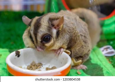 Sugar glider on a stump / Petaurus breviceps, Australia sugar glider, Sugar Glider eating noodle. Pet eat human food.