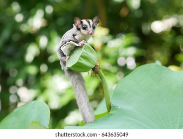 Sugar glider on the tree.