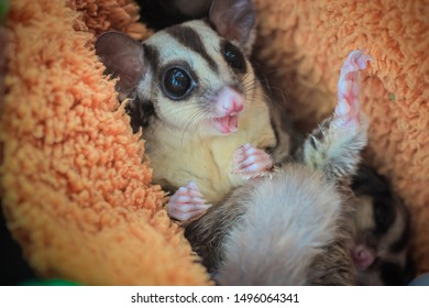 Sugar glider, Petaurus breviceps, The animal's scientific name translates: 'short-headed rope-dancer'