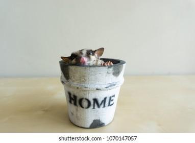 Sugar Glider sleeping in the wooden bucket. Cute animal