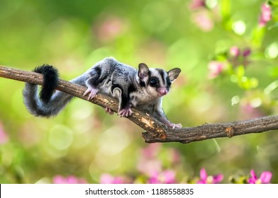 sugar gliders move above the twigs