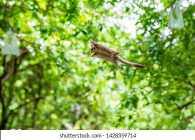 Sugar Gliders seen in a green garden, jump and fly from one tree to another trees