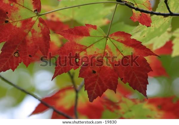 Sugar Maple Fall Foliage