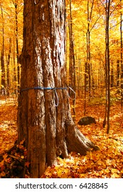 Sugar Maple trees with gathering system for spring maple syrup harvesting
