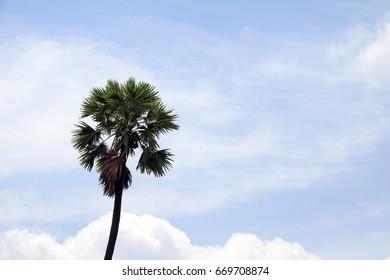 sugar palm and blue sky background.