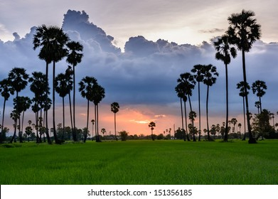 Sugar palm and rice filed at sunset