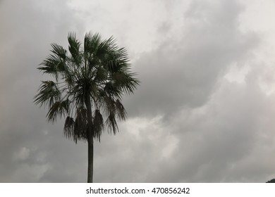 Sugar palm with sky background, Monochrome