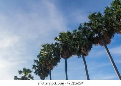Sugar palm tree against a blue sky