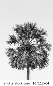 sugar palm tree in black and white