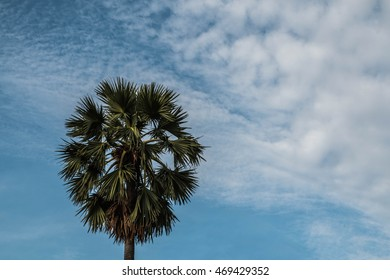 sugar palm tree  in blue sky background,copy space