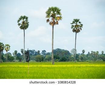 Sugar palm tree in the field
