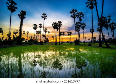 sugar palm tree and rice sunset in pathum thani , Thailand