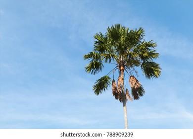 sugar palm tree with sky view