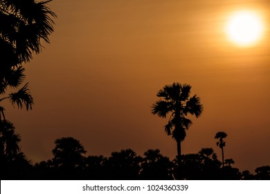 Sugar palm tree at sunset in Thailand.