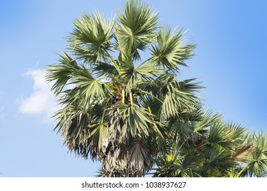 Sugar palm tree in Thailand.