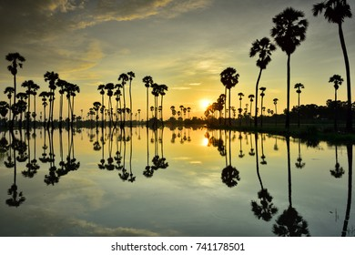 Sugar palm tree and water reflection with sunrise sky background, Thailand.