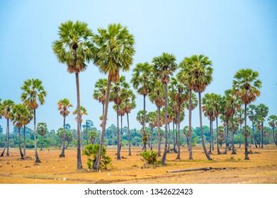Sugar palm trees on dry field