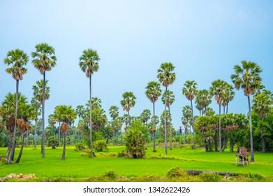 Sugar palm trees on green field