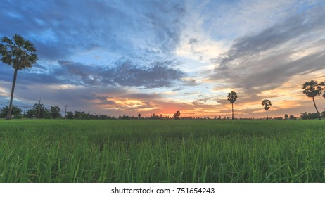 Sugar palm trees on the paddy field in morning.