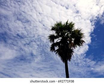 sugar palm trees on sky background.