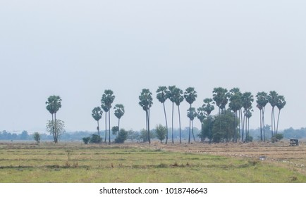 Sugar palm trees with rice field