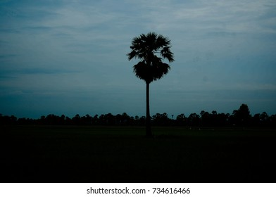 sugar palm trees stand alone with rice field