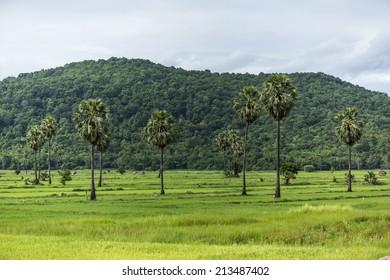 Sugar palm tree/Sugar palm tree and Rice fields green./Province Phitsanulok Thailand