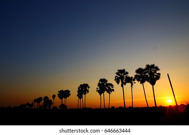 sugar palm,sihouette.sunset