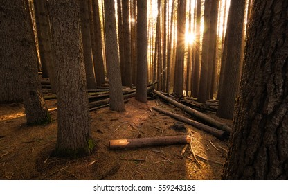 Sugar Pine Forest at sunset with golden light shining through the trees