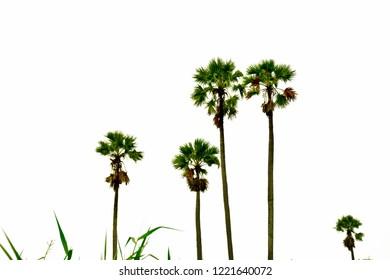 Sugar plam tree on white background