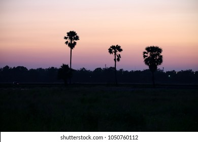Sugar plam trees in the rice field in the evening after the sun set.