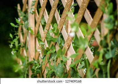 Sugar Snap Peas Growing Up Trellis In Organic Garden