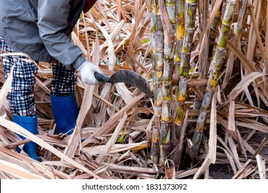 sugarcane cutting workers in sugarcane fields, worker in sugar cane plantation in the harvest season, sugarcane farmers in sugar cane field, sugarcane fresh in farm