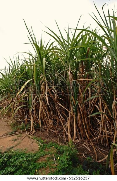 sugarcane field,