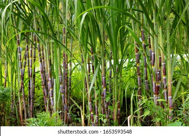 Sugarcane in the field, Agriculture.