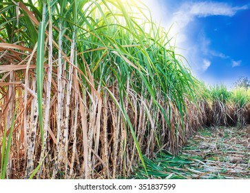 sugarcane field with blue sky