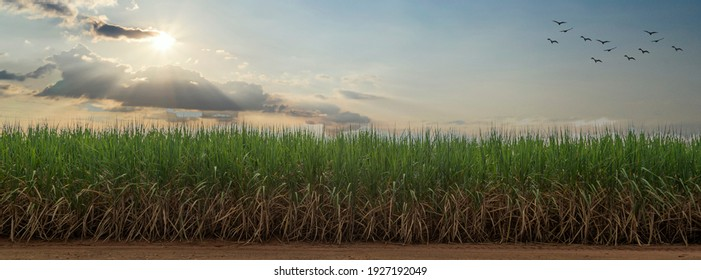 Sugarcane field with blue sky. sugarcane is a grass of poaceae family. it taste sweet and good for health