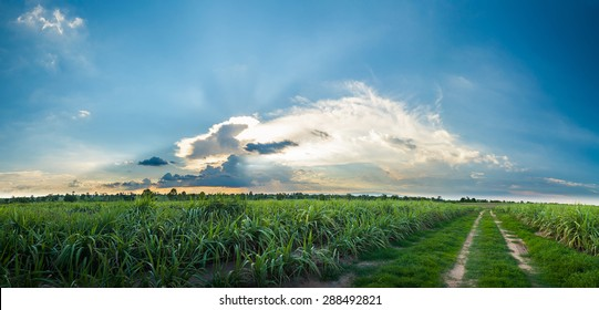 sugarcane field with blue sky panorama view.