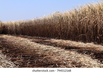 sugarcane, sugarcane field is burned for harvesting, Background picture of sugar cane farmers farm