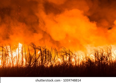Sugarcane field burns at night for harvest.