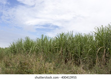 Sugarcane field in Cuba
