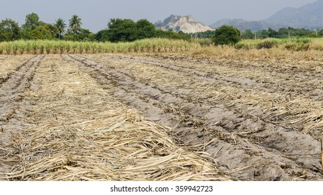 sugarcane field for easy to harvest in Thailand