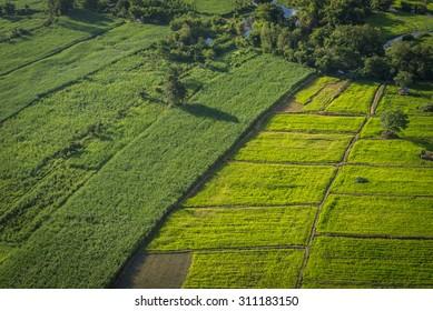 Sugarcane field next to rice field