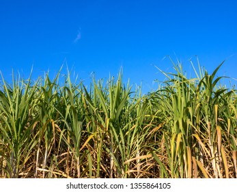 Sugarcane field with nice blue sky.