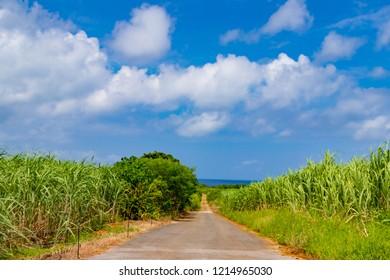 Sugarcane field in Okinawa Ishigakijima