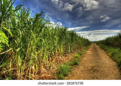 Sugarcane field in Okinawa,Japan