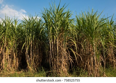 Sugarcane in the field ready cut into the plant.Sugar production
