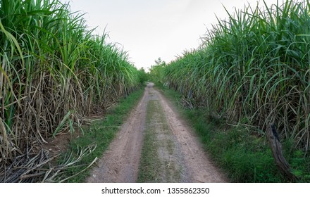 Sugarcane field and road with nice blue sky.