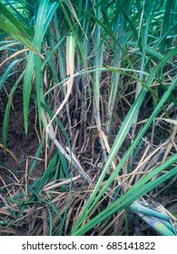 Sugarcane is growing on ground (Abstract)