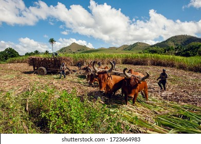 Sugarcane harvest in the Dominican Republic. The Haitian driver drives a Stick with a stimulus, a cart drawn by buffaloes. agricultural image. Dominican Republic El Seibo 04,02, 2015